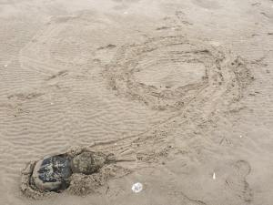 horseshoe crab love