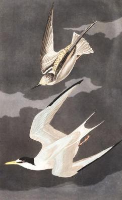 least tern (2)