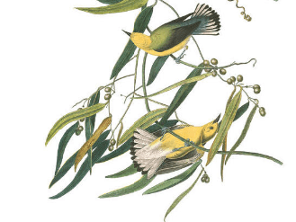 prothonotary warbler (2)